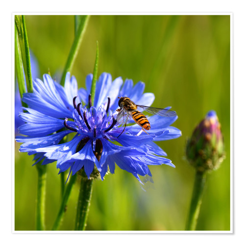 Premium poster Cornflower with hoverfly