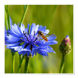 Premium poster  Cornflower with hoverfly - Atteloi