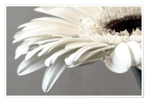 Premium poster White Gerbera with drops