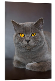 Foam board print  British Shorthair 7 - Heidi Bollich
