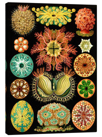 Canvas  Ascidiae - Ernst Haeckel
