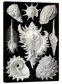 Canvas print  Prosobranchia - Ernst Haeckel