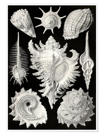 Premium poster  Prosobranchia, (art forms of nature: graphic 53) - Ernst Haeckel