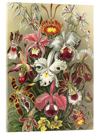 Acrylic print  Orchids, artistic forms of nature, graphic 74 - Ernst Haeckel