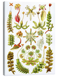 Canvas  Hepaticae - Ernst Haeckel