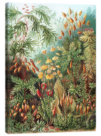 Canvas  Muscinae - Ernst Haeckel