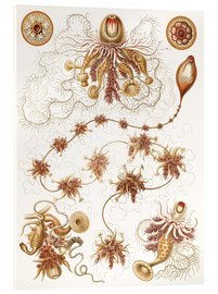 Acrylic glass  Siphonophorae 7 - Ernst Haeckel