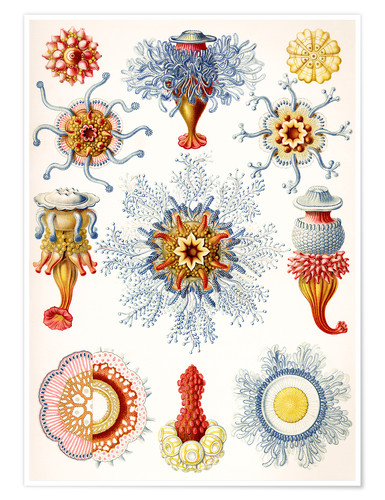 Premium poster Siphonophorae (Art forms of nature: graphic 17)