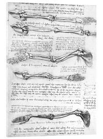Acrylic print  Bones of the arms - Leonardo da Vinci