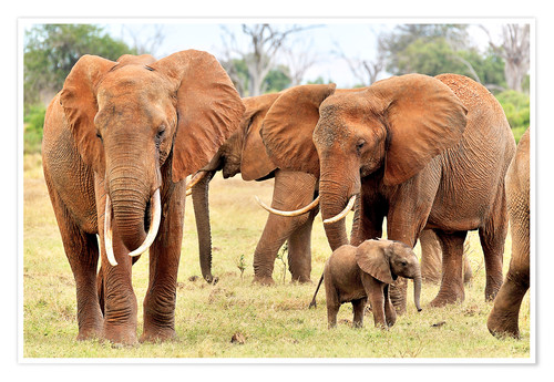 Premium poster Playful elephant baby with family