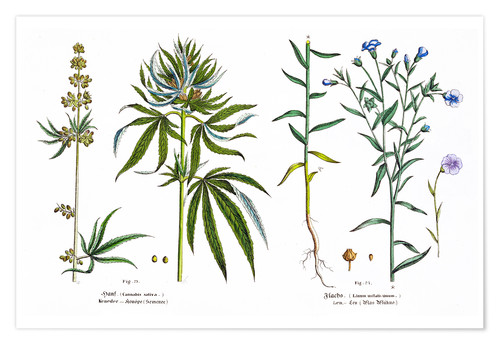 Premium poster Cannabis and Flax