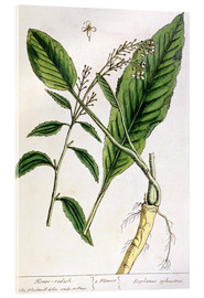 Acrylic print  Horseradish, plate 415 from 'A Curious Herbal', published 1782 - Elizabeth Blackwell