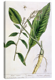 Elizabeth Blackwell - Horseradish, plate 415 from 'A Curious Herbal', published 1782