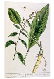 Foam board print  Horseradish, plate 415 from 'A Curious Herbal', published 1782 - Elizabeth Blackwell
