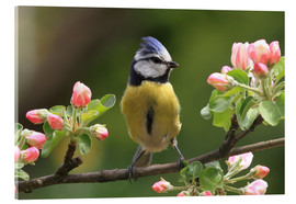 Acrylic glass  Blue Tit on apple blossoms - Uwe Fuchs