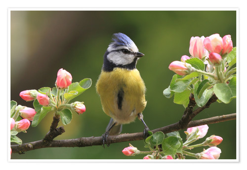 Premium poster Blue Tit on apple blossoms