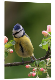 Acrylic print  Blue Tit with Apple Blossoms - Uwe Fuchs
