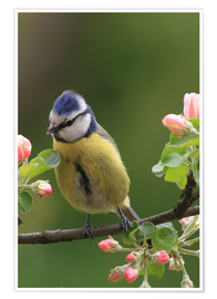Premium poster Blue Tit with Apple Blossoms