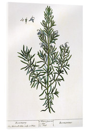 Acrylic glass  Rosmarinus Officinalis, from 'A Curious Herbal', 1782 - Elizabeth Blackwell