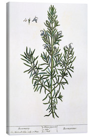 Canvas print  Rosmarinus officinalis, 1782 - Elizabeth Blackwell