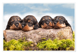 Premium poster Dachshund puppy siblings