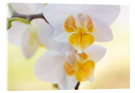 Acrylic glass  White orchids against soft yellow background - Julia Delgado