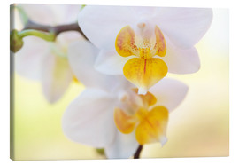 Canvas  White orchids against soft yellow background - Julia Delgado