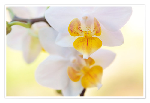Premium poster White orchids against soft yellow background