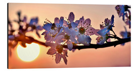 Aluminium print  Cherry blossoms against evening under the setting sun - Julia Delgado