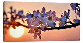 Canvas  Cherry blossoms against evening under the setting sun - Julia Delgado