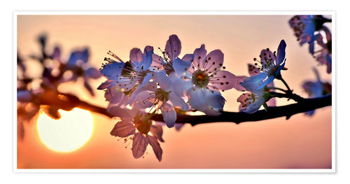 Poster Cherry blossoms against evening under the setting sun