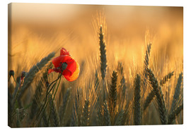Canvas print  poppy in the morning light - Uwe Fuchs
