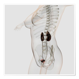 Poster Three dimensional view of female urinary system.