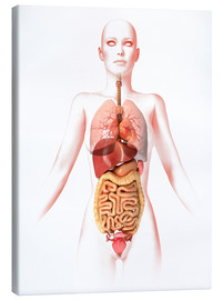 Leonello Calvetti - Anatomy of the female body with internal organs