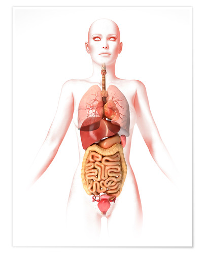 Premium poster Anatomy of the female body with internal organs