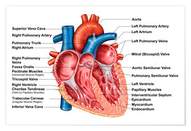 Poster  Anatomy of heart interior, frontal section - Stocktrek Images