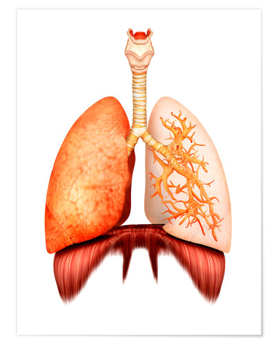 Premium poster Anatomy of human respiratory system, front view.