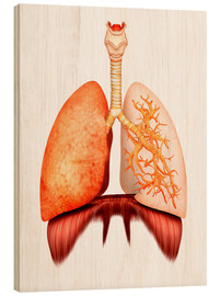 Wood print  Anatomy of human respiratory system, front view. - Stocktrek Images