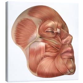Canvas print  Anatomy of human face muscles - Stocktrek Images