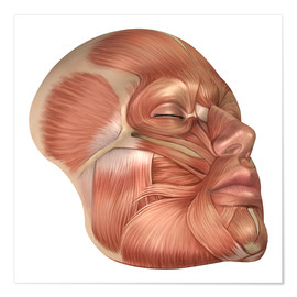 Premium poster Anatomy of human face muscles