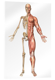 Acrylic print  The human skeleton and muscular system, front view - Stocktrek Images