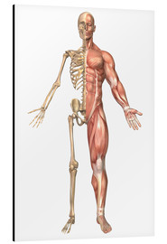 Alu-Dibond  The human skeleton and muscular system, front view - Stocktrek Images