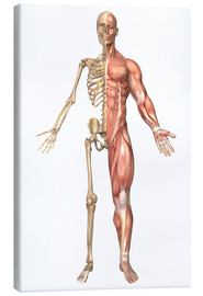 Canvas print  The human skeleton and muscular system, front view - Stocktrek Images