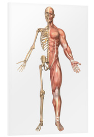 Foam board print  The human skeleton and muscular system, front view - Stocktrek Images