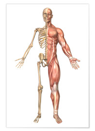 Premium poster  The human skeleton and muscular system, front view - Stocktrek Images