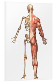 Foam board print  The human skeleton and muscular system, back view. - Stocktrek Images