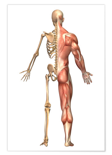 Premium poster The human skeleton and muscular system, back view.