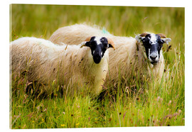 Acrylic print  Scottish sheep - Walter Quirtmair