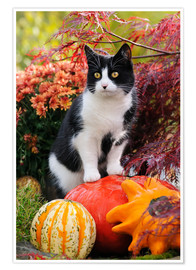 Premium poster Tuxedo cat on colourful pumkins in a garden