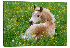 Canvas print  Haflinger horse, a cute foal resting in a flowering meadow - Katho Menden